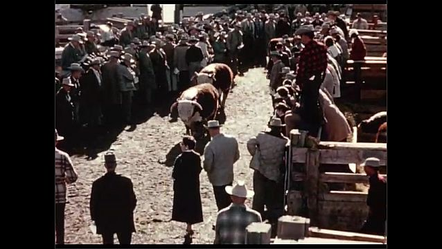 1950s: People stand on sidelines, watch cows walk past.