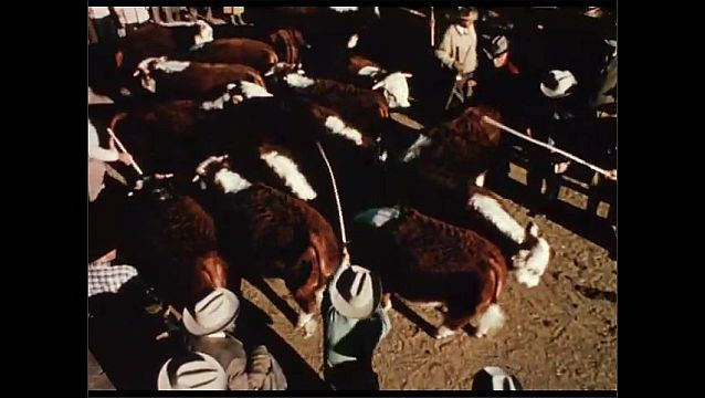 1950s: People stand on sidelines, watch cows walk past. Men herd cattle to end of path.