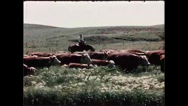 1950s: UNITED STATES: cows moved along river bank. Man and horse moves herd by river