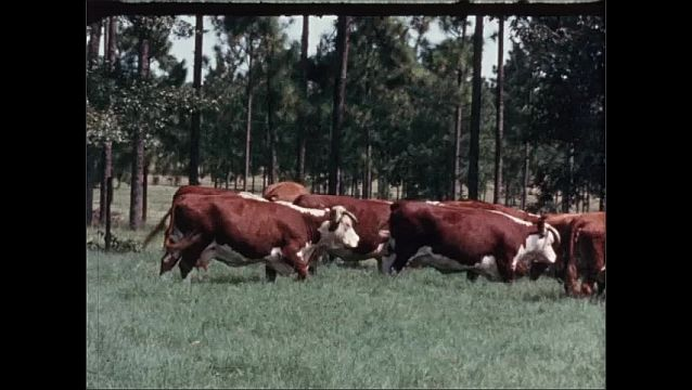 1950s: UNITED STATES: red and white cows with horns in field by trees. Man on horse in Idaho moves cattle in spring.