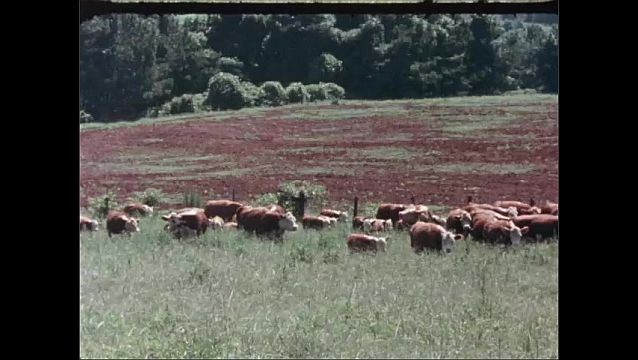1950s: UNITED STATES: cows and calves in herd walk across grass. Bull in field. Show bull.