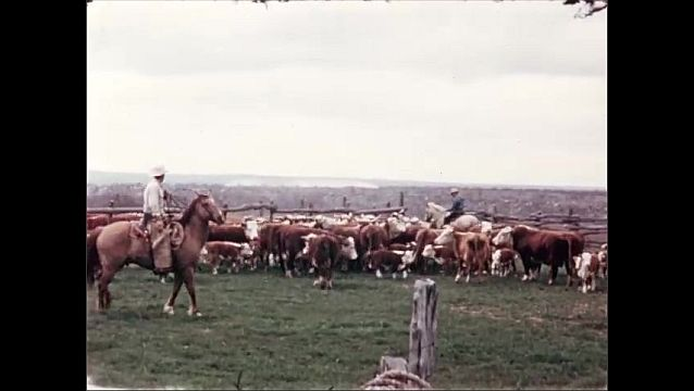 1950s: UNITED STATES: man on horse rounds up cattle. Bulls in field.