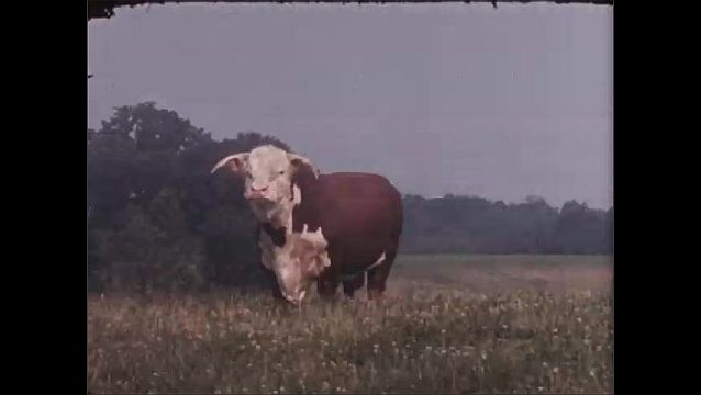 1950s: UNITED STATES: portrait of early Hereford cow. Portrait of Hereford cow with horns. Hereford cow in field