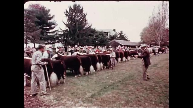 1950s: UNITED STATES: Hereford cows in show ring. Judge examines cows in show ring. Cows learn to walk for show ring.