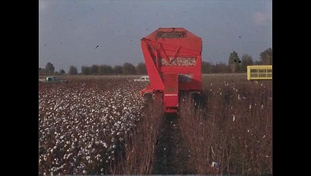 1950s: Vehicle driving through cotton field picking cotton