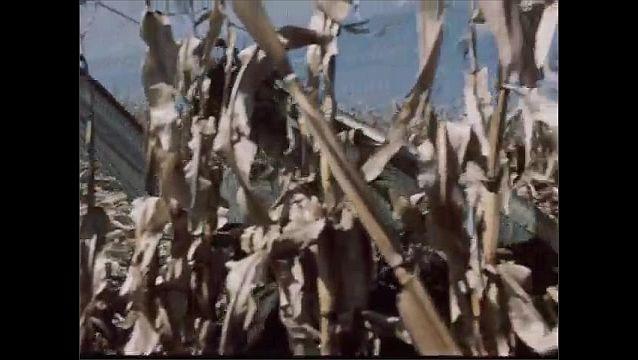 1950s: Man looks around, smiles. Man drives tractor through field, harvests corn. Man smokes pipe.