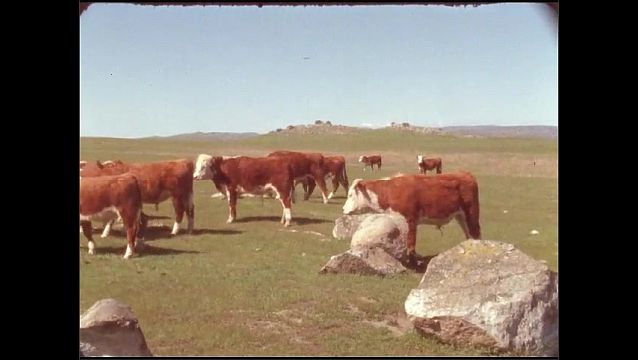 1950s: UNITED STATES: brown and white cows walk in field. Cows by rocks.