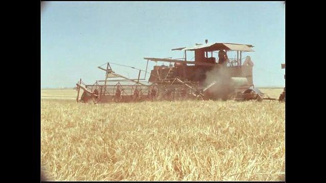 1950s: UNITED STATES: combine harvester in corn field. Crops in field