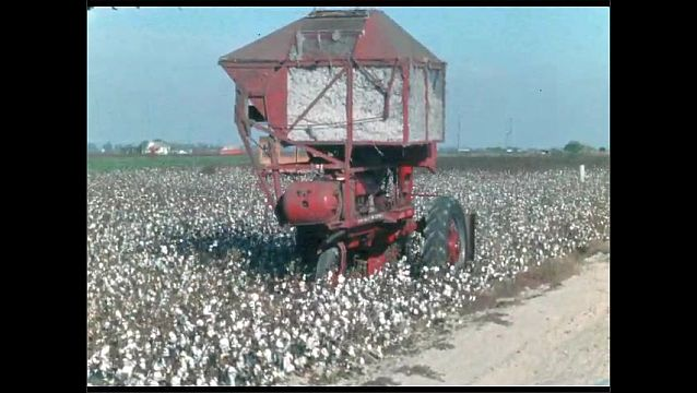 1950s: Cotton picking tractor moves through field of cotton.