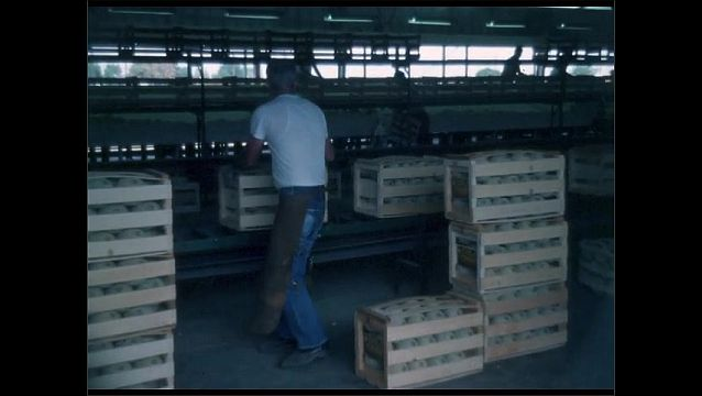 1950s: Man lifts crates of melons from conveyor belt. Worker stacks boxes of cantaloupes near conveyor belt.