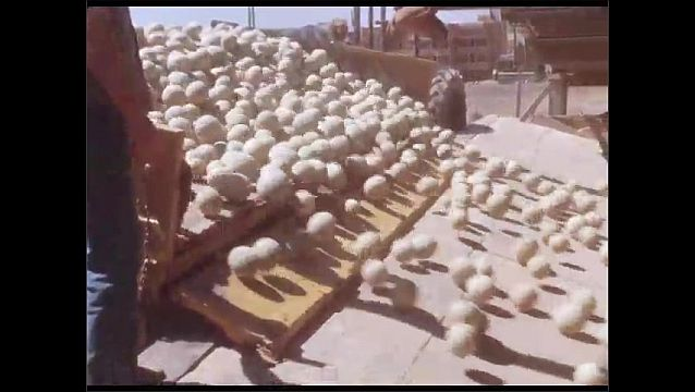 1950s: Man lowers truck ramp. Melons roll down ramp into agricultural plant intake.