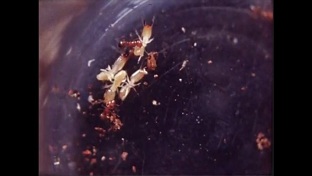 1930s: Termite soldiers and red ants fight on petri dish.