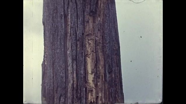 1930s: Hand uses pocket knife to peel away bark from wooden pole, Knife reveals termites running under wood surface. Damaged telephone pole stands in rural landscape.