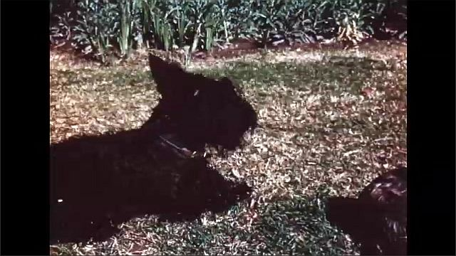 1960s: Puppy sits in grass. Man holds two puppies. Man picks up puppy, walks away. Dog barks.