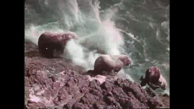 1940s: Otters congregate and jump into water. Waves crash into rocks.