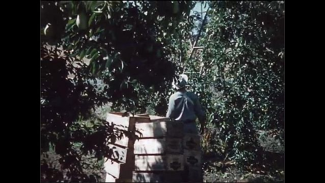 1950s: UNITED STATES: man in orchard. Stack of fruit boxes in orchard. Man climbs ladder by tree.