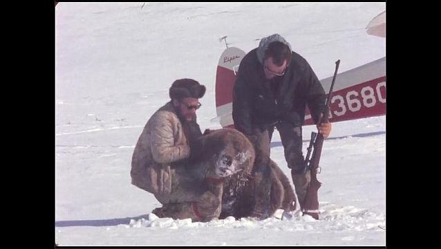 1960s: Men with gun roll dead bear over in snow near plane. Men pose with dead bear and congratulate one another.