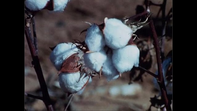 1950s: UNITED STATES: cotton on plant. Close up of cotton on crop. Length of cotton crop. High strength fibre crop.