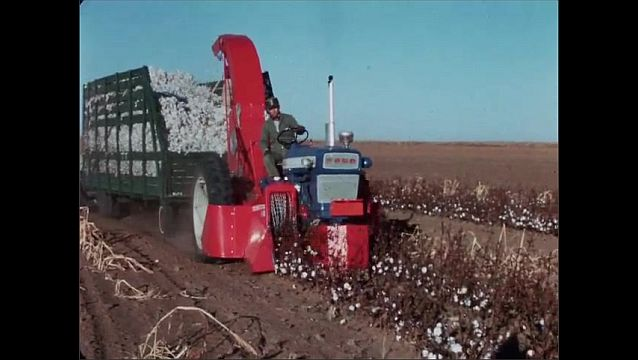 1950s: UNITED STATES: Brush harvesting of cotton. 24T harvester at work in field. Man drives tractor.