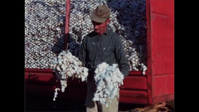 1950s: UNITED STATES: man looks at cotton  from cleaner. Trailer containing brush harvested cotton.