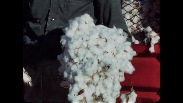 1950s: UNITED STATES: man holds cotton in hands in field. Quality of cotton from brush harvesting.