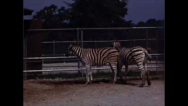 1940s: UNITED STATES: side view of zebra at zoo. Zebras in enclosure. Zebra runs past camera.