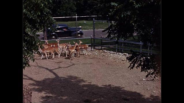 1940s: UNITED STATES: deer in enclosure at zoo. Overhead view of deer.