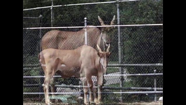 1940s: UNITED STATES: Zebu with dewlap in enclosure at zoo. Zebu licks lips. Zebu looks at camera.
