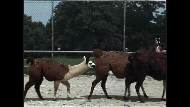1940s: UNITED STATES: Llamas in enclosure at zoo. Brown and white llamas. Young llama.