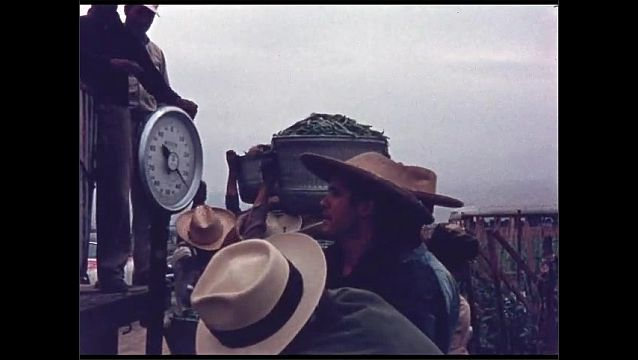 1960s: Men carry buckets of produce up to truck. Men wait in line to weigh buckets. Scale.