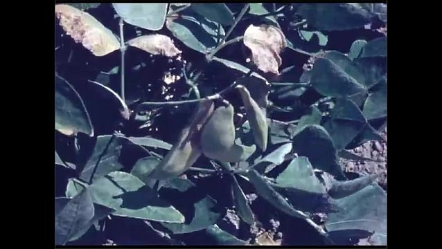 1960s: Man kneels down in field, inspects plants. Bean pods on plant. Machinery harvests plants.