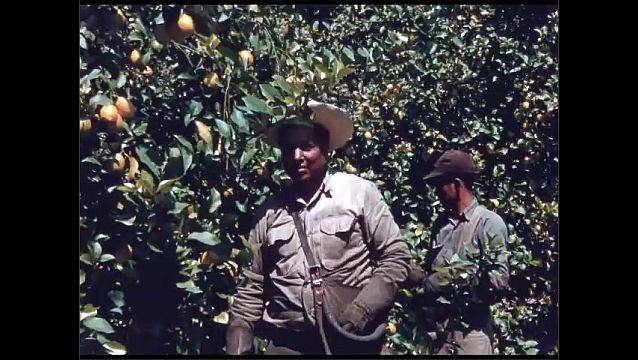 1960s: Lemon trees. Men picks lemons off trees. Man drives tractor, waters trees.