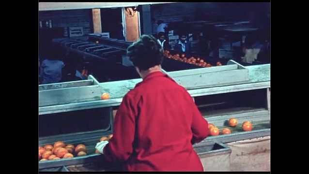 1960s: Oranges travel along conveyor belt in factory. Women inspect oranges.