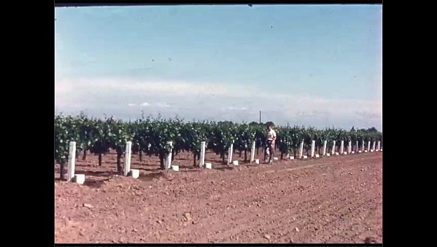 1960s: Trays of plums. Intertitle card. Field of plants. Man walks along rows of grapevines. Water flows over cylinder.