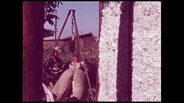 1960s: UNITED STATES: man carries sack in field. Man weighs sack in field. Man unloads cotton into trailer.
