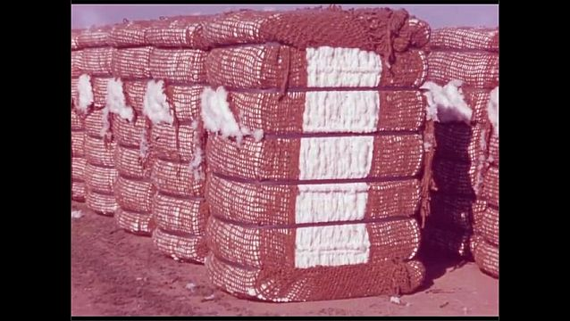 1960s: UNITED STATES: man empties sack of cotton into truck. Bales of cotton. Victoria Island Farms in California. Men stand by Victoria Island Farms sign.