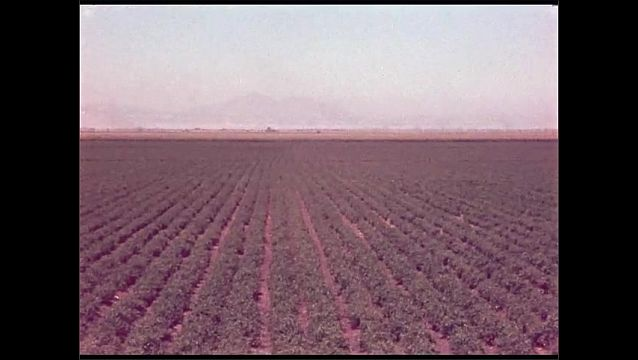1960s: UNITED STATES: men stand by car. View across field and rows of soils. Plants in rows. Man picks crops by hand. Man talks to camera