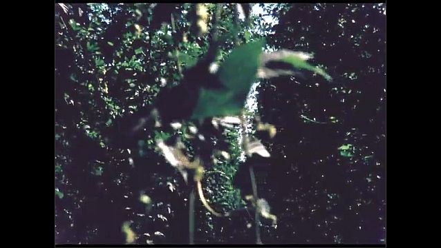 1960s: UNITED STATES: leaves on plant. Formation of fruit. Leaves blow in breeze.