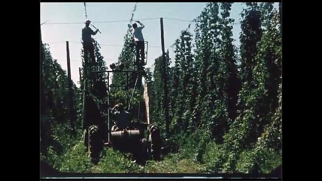 1960s: Men on tractor cut long vines growing on ropes hanging from wires over field. Men attache vines from back of truck to conveyor belt in building.