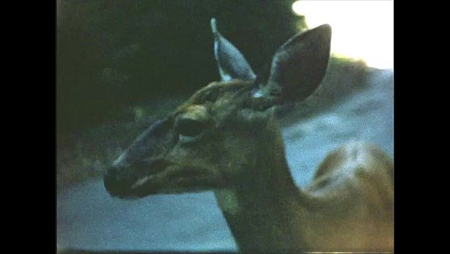 1950s: Deer stands on side of road.