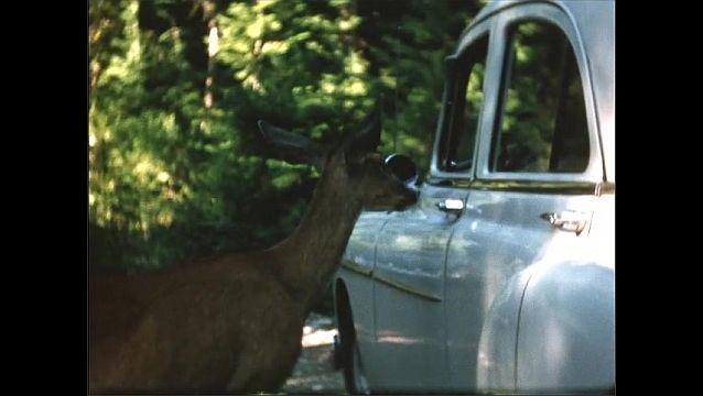 1950s: Deer stands next to car. Deer walks around.