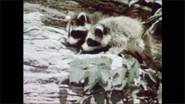 1950s: Two small raccoons climb out from behind a log in the daylight.