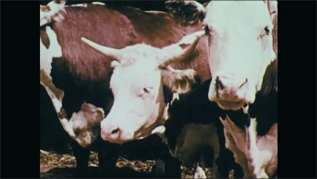 1970s: UNITED STATES: face of cow with radiation sickness. Dullness in cow. Muscle tremors and knuckling in cow.