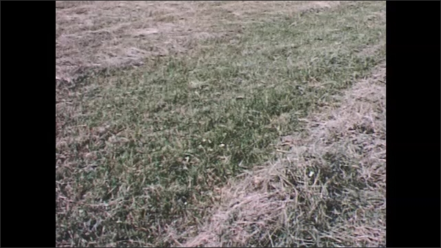 1960s: Windrows of hay grass in field. Agricultural wheel rake drive and tires.