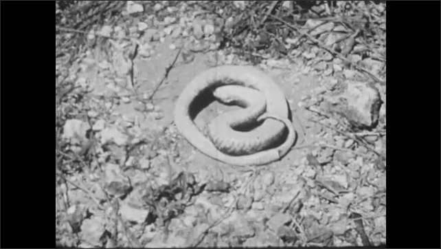 1950s: UNITED STATES: Hawk nose snake puffs up and strikes. Snakes turns over. Snakes fight. Mojave Rattle Snake and King Snake fight.
