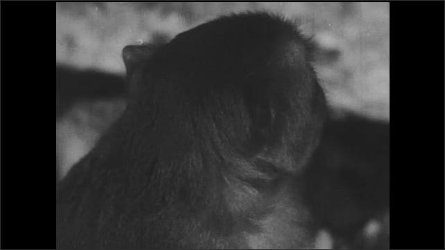 1940s: Snake slithers through vegetation on jungle floor. Monkey yawns, climbs tree, yawns again.