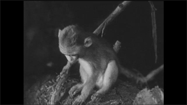 1940s: Juvenile monkey looks alert, flees, leaving baby monkey alone. Baby monkey scratches self, climbs tree. Snake lurks below tree.