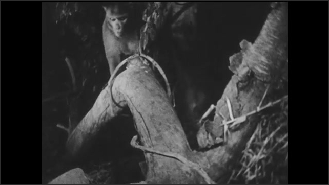 1940s: Monkey on tree branch scratches self. Monkey walks along tree branches. Mother and baby monkey eat.
