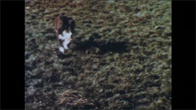 1950s: Sheepdog runs back and forth behind sheep, herds sheep into pen. Sheepdog sits by gate.