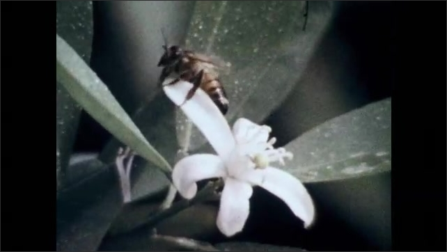 1970s: Bees crawl on blossoms.